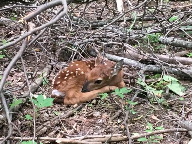 IMG_0874-Baby Deer 2017